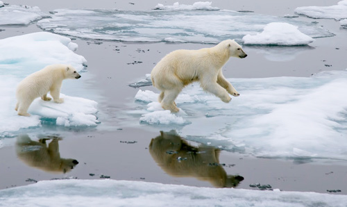 Polar bears negotiating depleted ice.
