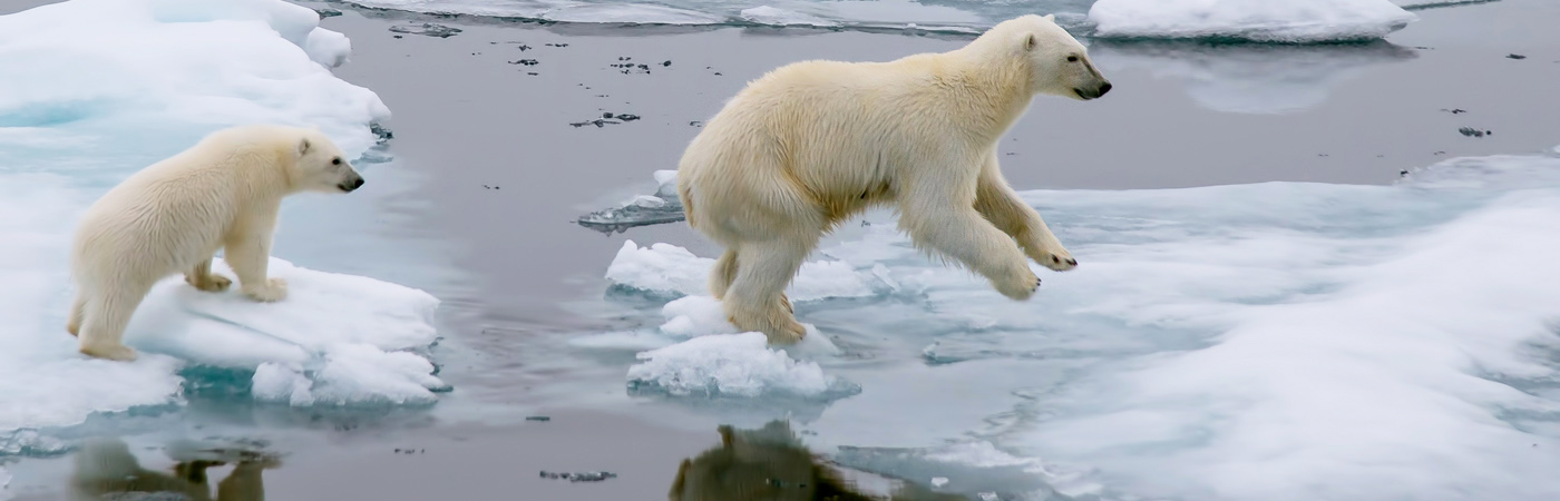 Polar bears on depleting ice